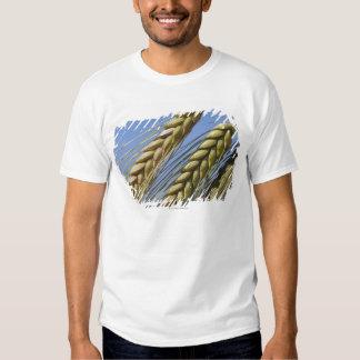 Italy, Tuscany, Val d'Orcia, Three ears of T-shirt