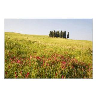 Italy, Tuscnay, Grouping of Tuscan Cypress Art Photo