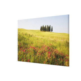 Italy, Tuscnay, Grouping of Tuscan Cypress Canvas Print