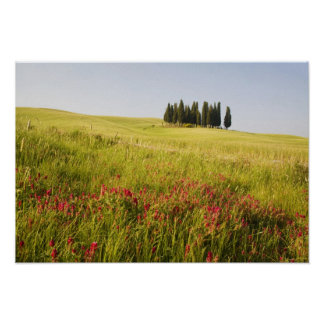 Italy, Tuscnay, Grouping of Tuscan Cypress Poster
