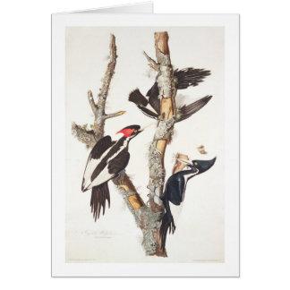 Ivory-billed Woodpecker, 1829, (print) Card