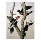 Ivory-billed Woodpecker, from 'Birds of America' Postcard