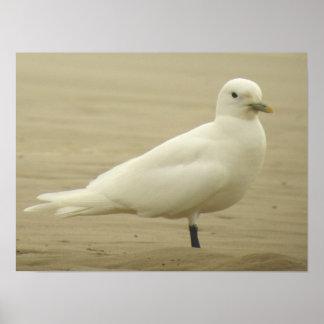 Ivory Gull poster