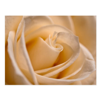 Ivory Rose Postcard
