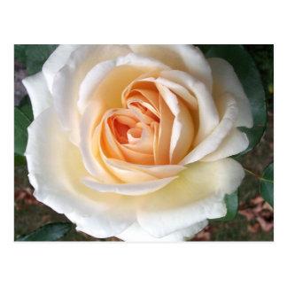 Ivory White Summer Rose Postcard