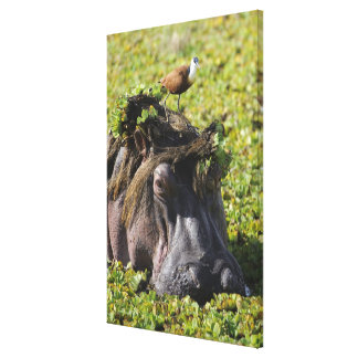 Jacana standing on hippo's (Hippopotamus Canvas Print