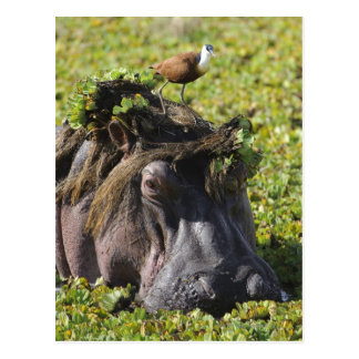 Jacana standing on hippo's (Hippopotamus Postcard