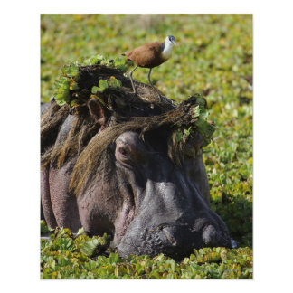 Jacana standing on hippo's (Hippopotamus Poster