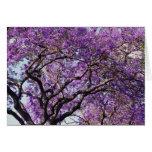 Jacaranda tree in spring bloom flowers cards