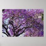 Jacaranda tree in spring bloom flowers posters