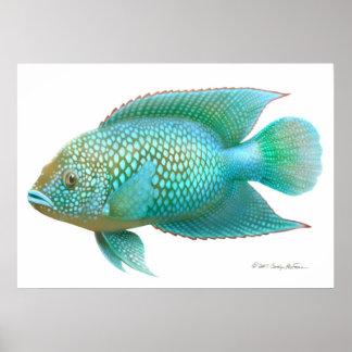 Jack Dempsey Cichlid Fish Print