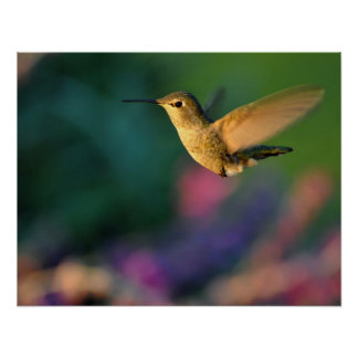 Jack London Female Anna's Hummingbird Print