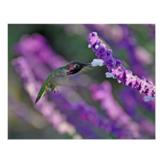 Jack London Male Anna s Hummingbird Print