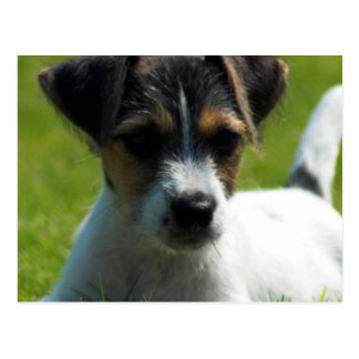 Jack Russell Puppy Postcard