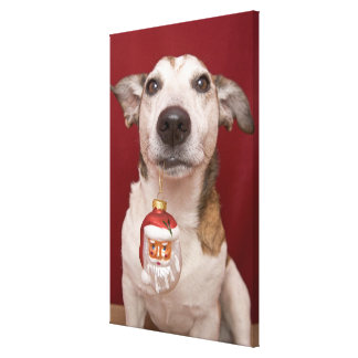 Jack Russell Terrier Holding Christmas Ornament Gallery Wrap Canvas