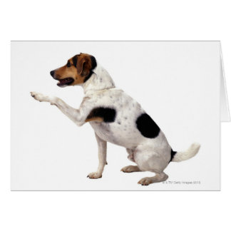 Jack Russell Terrier Lifting Paw Greeting Card