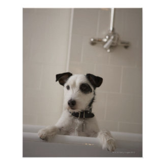Jack russell terrier. poster