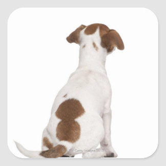 Jack Russell Terrier puppy (3 months old) Square Sticker