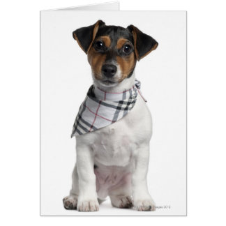 Jack Russell Terrier puppy (4 months old) Card