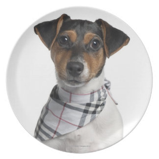 Jack Russell Terrier puppy (4 months old) Plate