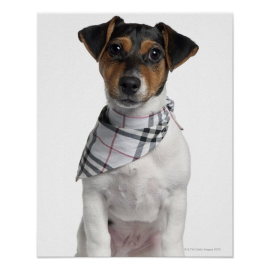 Jack Russell Terrier puppy (4 months old) Poster