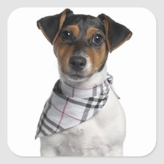 Jack Russell Terrier puppy (4 months old) Square Sticker