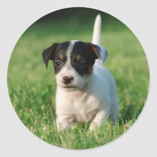 Jack Russell Terrier puppy Classic Round Sticker
