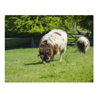 Jacob Sheep Grazing Postcards