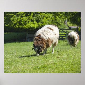 Jacob Sheep Grazing Poster
