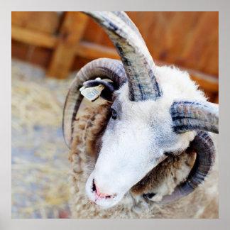 Jacob Sheep Photograph Poster