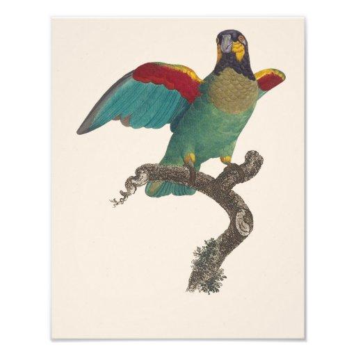"Jacques Barraband ""Caica Parrot"" 1800 Repro Print Photo"