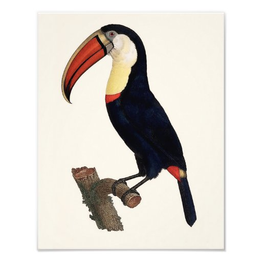"""Jacques Barraband """"Tucan"""" Parrot 1801 Reproduction Photographic Print"""