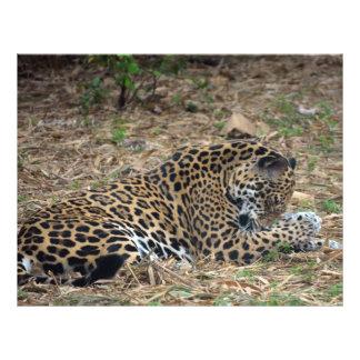 jaguar cleaning leg animal photo image flyer design