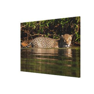 Jaguar Going for a Swim Canvas Print