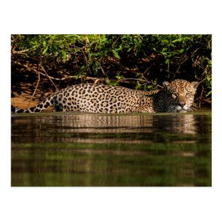 Jaguar Going for a Swim Postcard