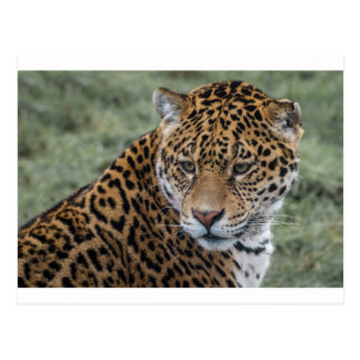 Jaguar Portait Postcard