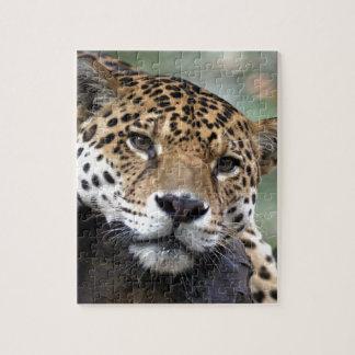 Jaguar resting puzzles