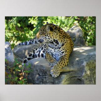 jaguar up close full body shot poster