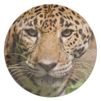 Jaguarclose-up of face plate