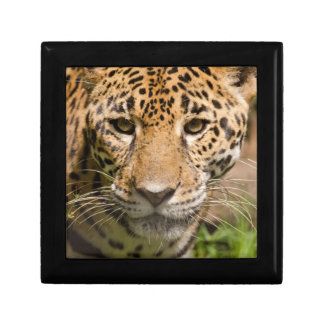 Jaguarclose-up of face small square gift box