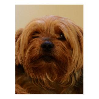 Jake The Yorkie Terrier Postcard