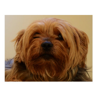 Jake The Yorkie Terrier Postcard