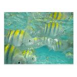 Jamaican Fish Card Postcard