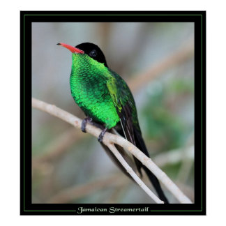 Jamaican Streamertail Poster