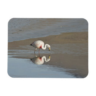 James flamingo (Phoenicoparrus jamesi). Magnet