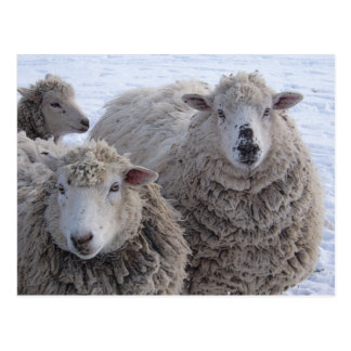 January Two Sheep Faces Postcard