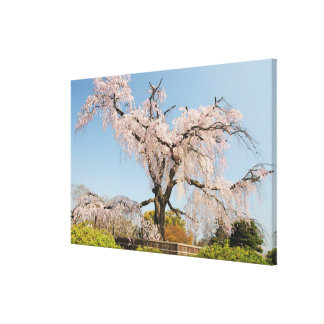 Japan, Kyoto. Weeping cherry tree under blue sky Canvas Print