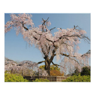 Japan, Kyoto. Weeping cherry tree under blue sky Poster