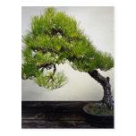 Japanese Black Pine Bonsai Post Cards