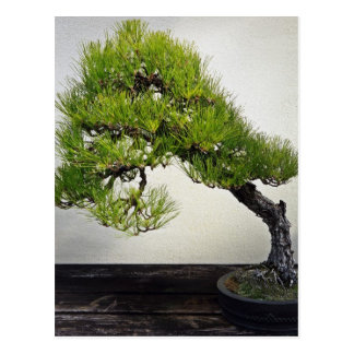 Japanese Black Pine Bonsai Postcard